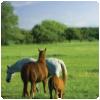 100-horse